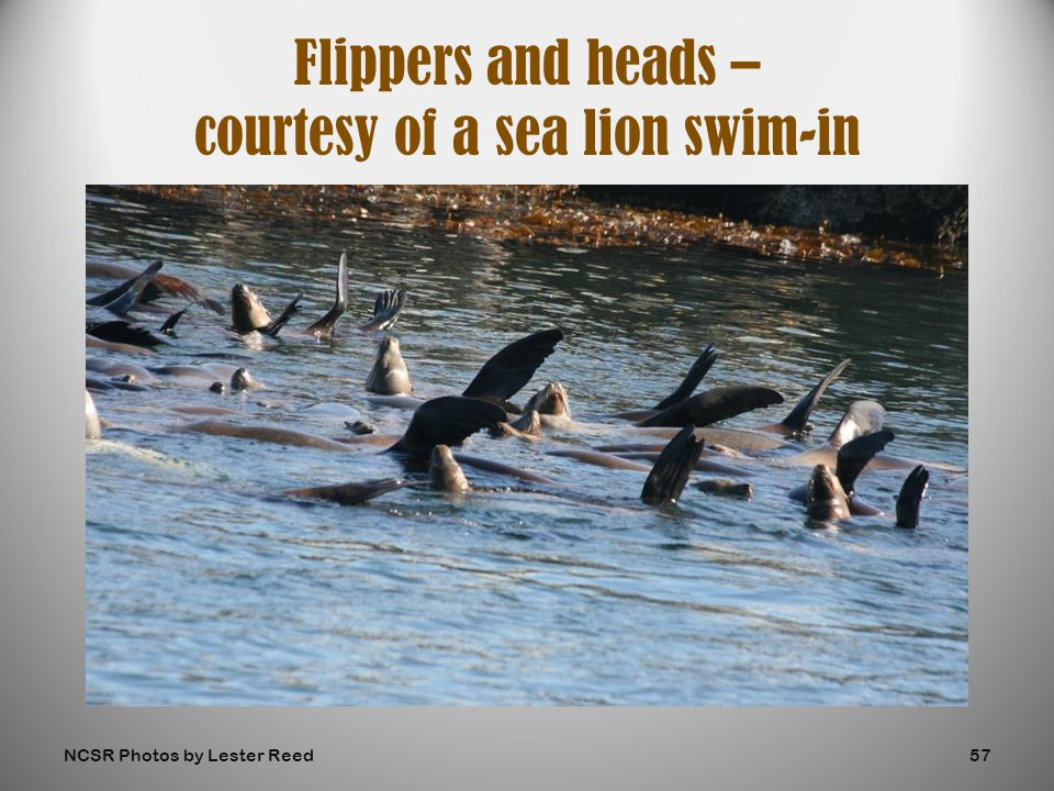 Flippers and heads – courtesy of a sea lion swim-in NCSR Photos by Lester Reed57