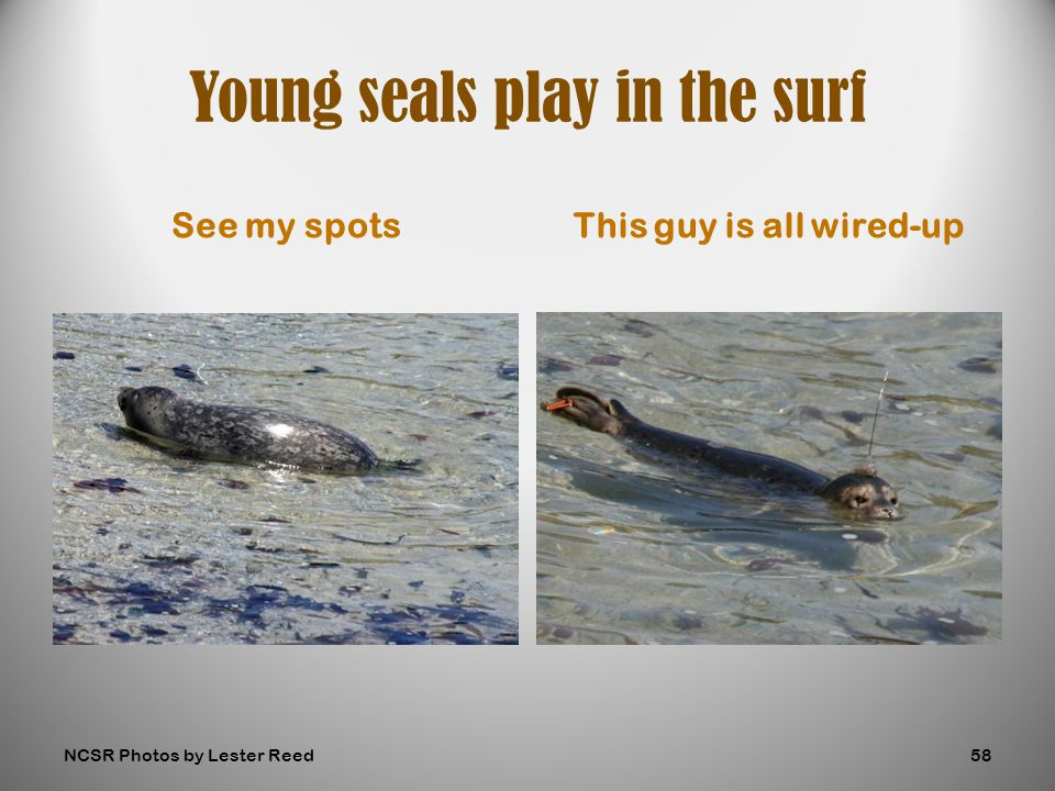 See my spotsThis guy is all wired-up Young seals play in the surf NCSR Photos by Lester Reed58