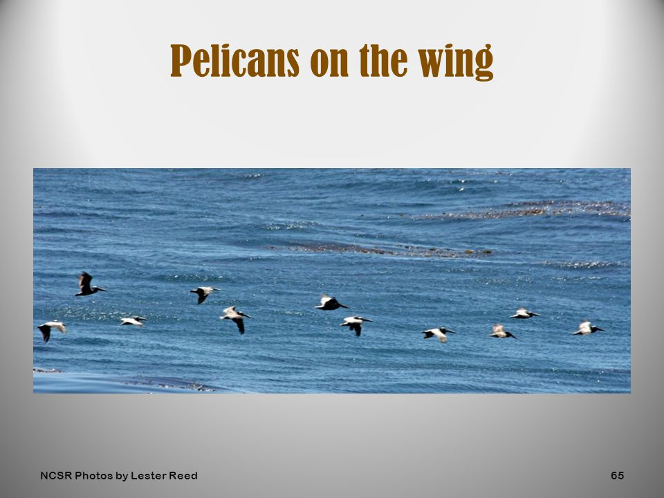 Pelicans on the wing NCSR Photos by Lester Reed65