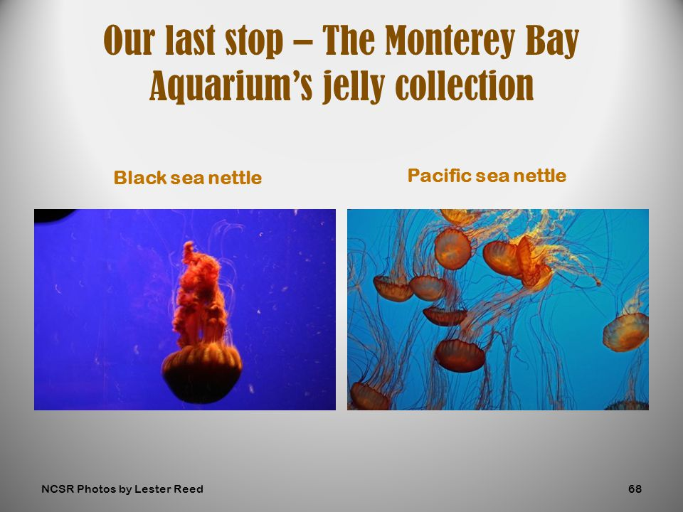 Black sea nettle Pacific sea nettle Our last stop – The Monterey Bay Aquarium's jelly collection NCSR Photos by Lester Reed68