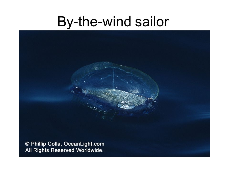 By-the-wind sailor