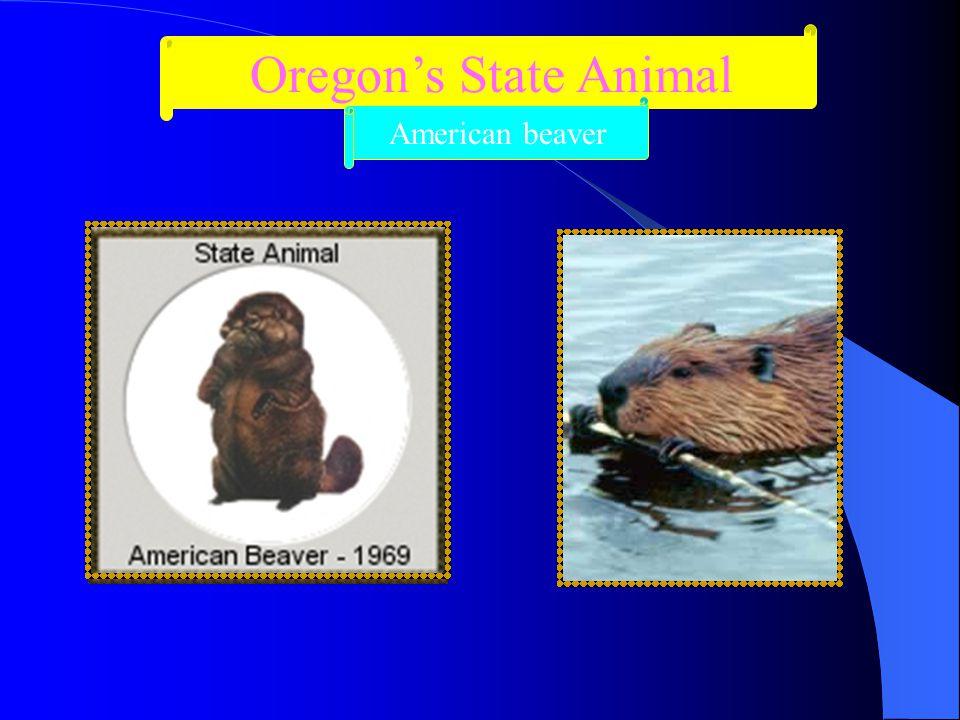 Oregon's State Animal American beaver