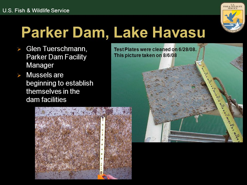U.S. Fish & Wildlife Service Parker Dam, Lake Havasu  Glen Tuerschmann, Parker Dam Facility Manager  Mussels are beginning to establish themselves i