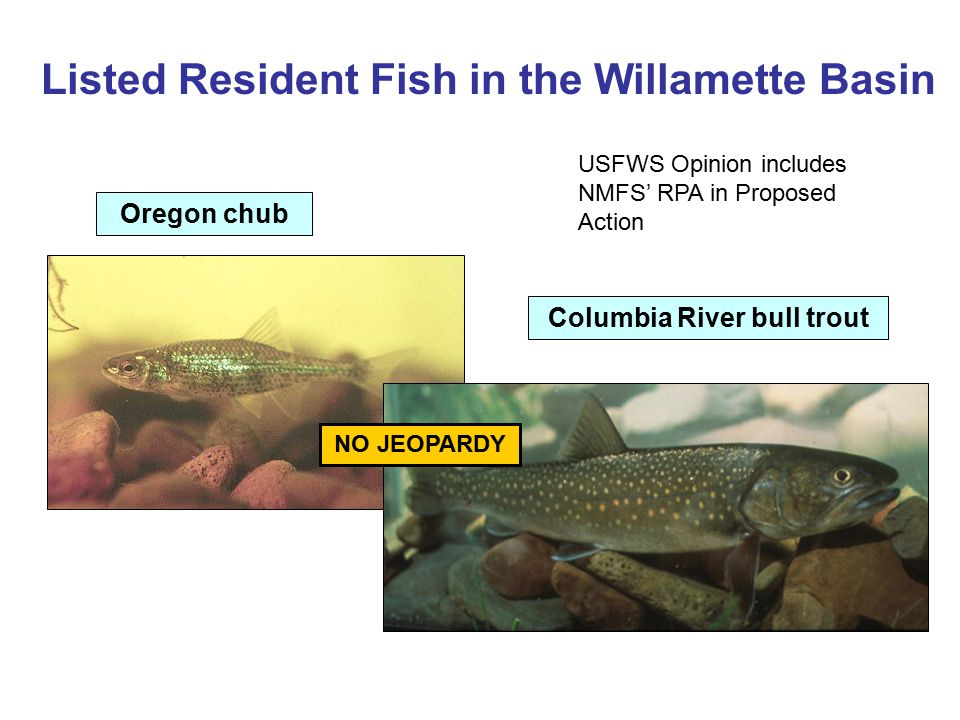 Listed Resident Fish in the Willamette Basin Oregon chub Columbia River bull trout NO JEOPARDY USFWS Opinion includes NMFS' RPA in Proposed Action