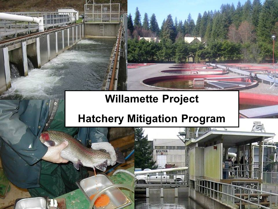 Willamette Project Hatchery Mitigation Program
