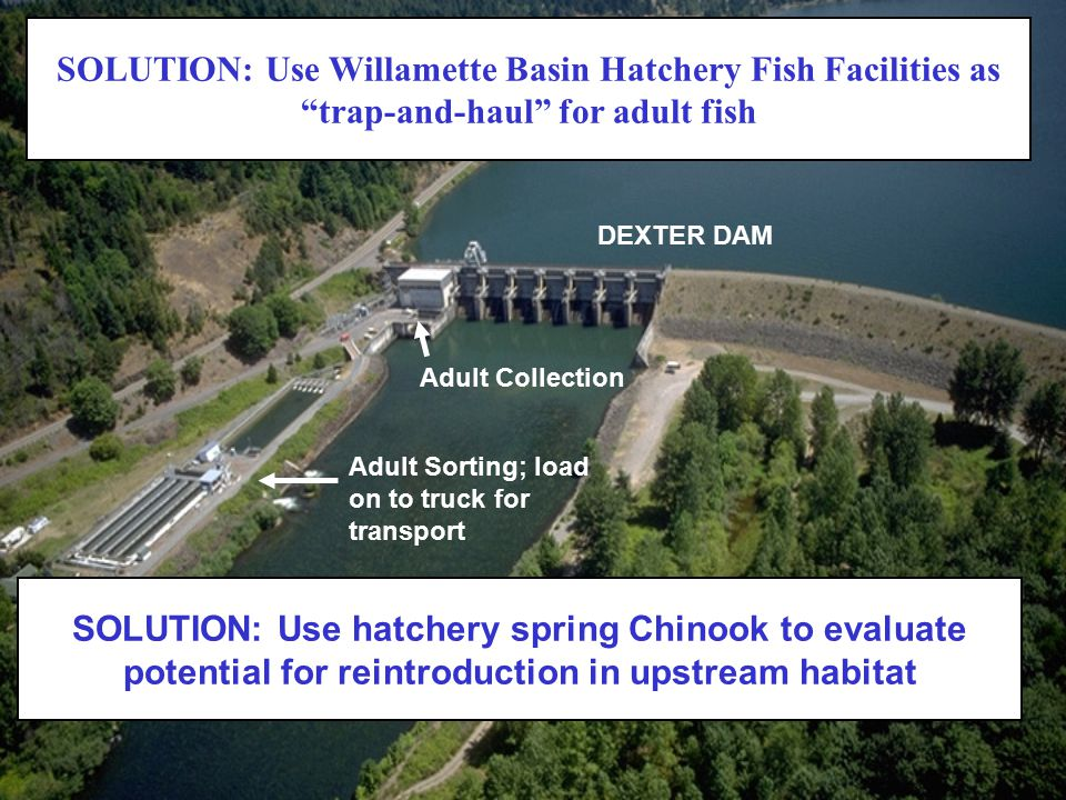 """SOLUTION: Use Willamette Basin Hatchery Fish Facilities as """"trap-and-haul"""" for adult fish Adult Collection DEXTER DAM Adult Sorting; load on to truck"""