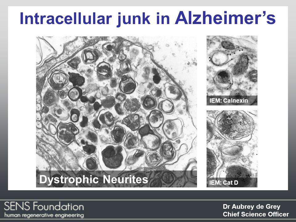 Dr Aubrey de Grey Chief Science Officer Intracellular junk in Alzheimer's IEM: Calnexin Dystrophic Neurites IEM: Cat D