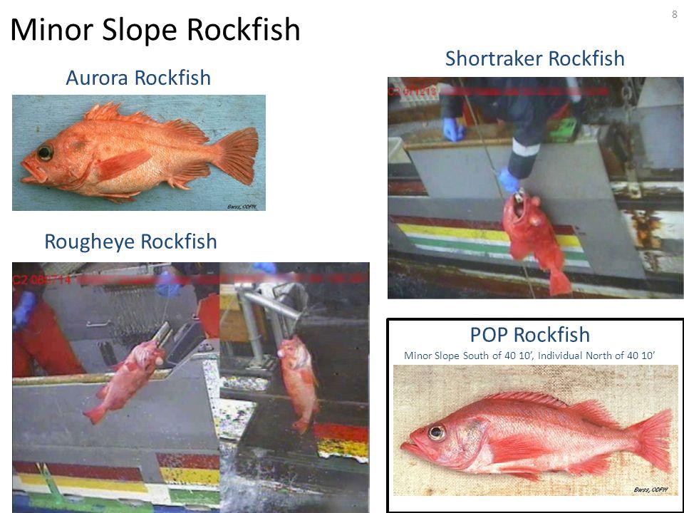8 Aurora Rockfish Rougheye Rockfish Shortraker Rockfish Minor Slope Rockfish POP Rockfish Minor Slope South of 40 10', Individual North of 40 10'