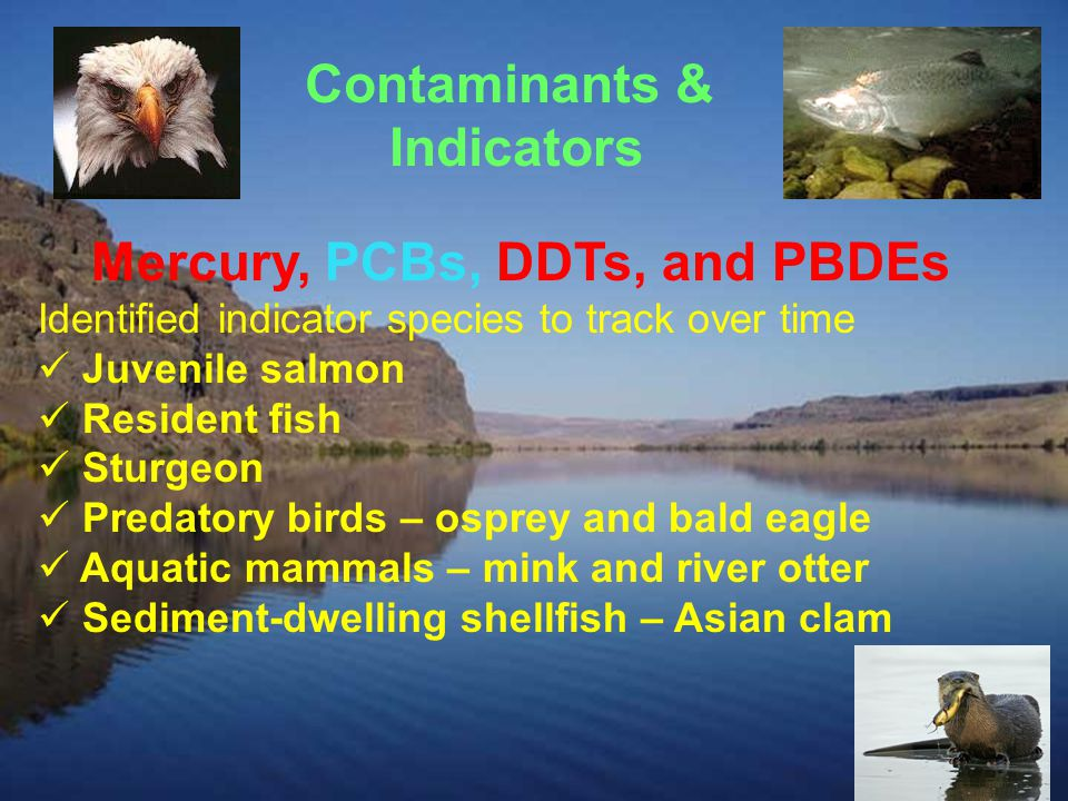 Contaminants & Indicators Mercury, PCBs, DDTs, and PBDEs Identified indicator species to track over time Juvenile salmon Resident fish Sturgeon Predatory birds – osprey and bald eagle Aquatic mammals – mink and river otter Sediment-dwelling shellfish – Asian clam