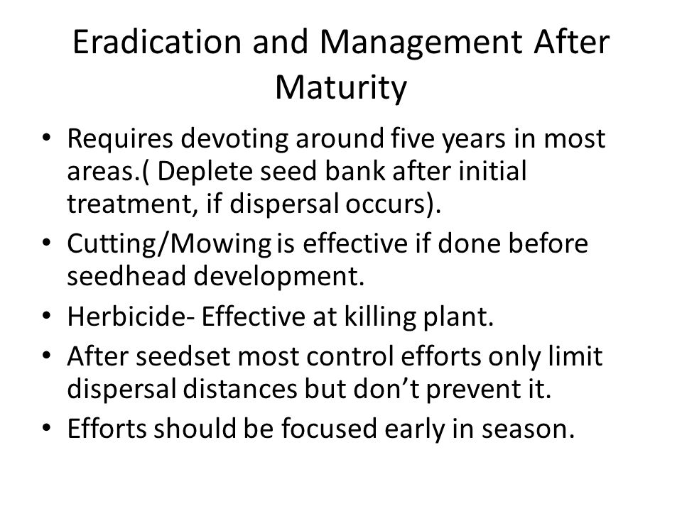 Eradication and Management After Maturity Requires devoting around five years in most areas.( Deplete seed bank after initial treatment, if dispersal occurs).