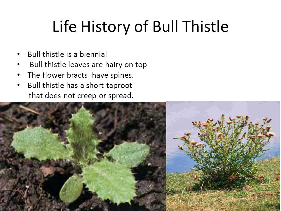 Life History of Bull Thistle Bull thistle is a biennial Bull thistle leaves are hairy on top The flower bracts have spines.