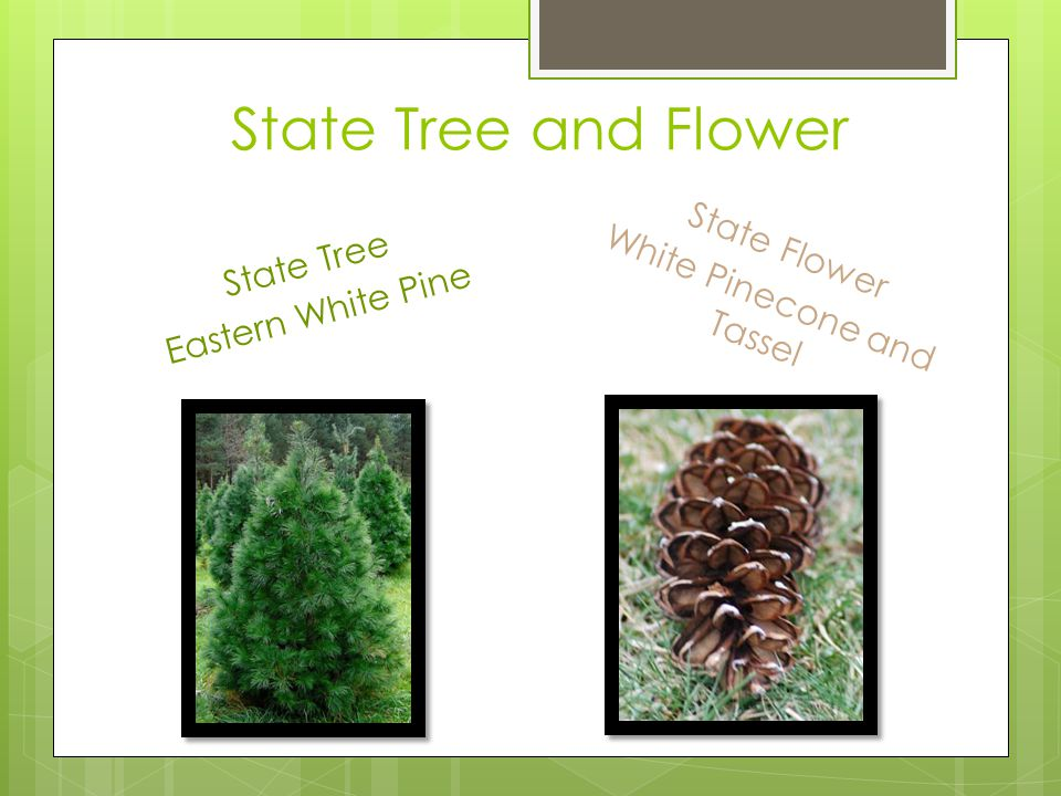 State Tree and Flower State Tree Eastern White Pine State Flower White Pinecone and Tassel