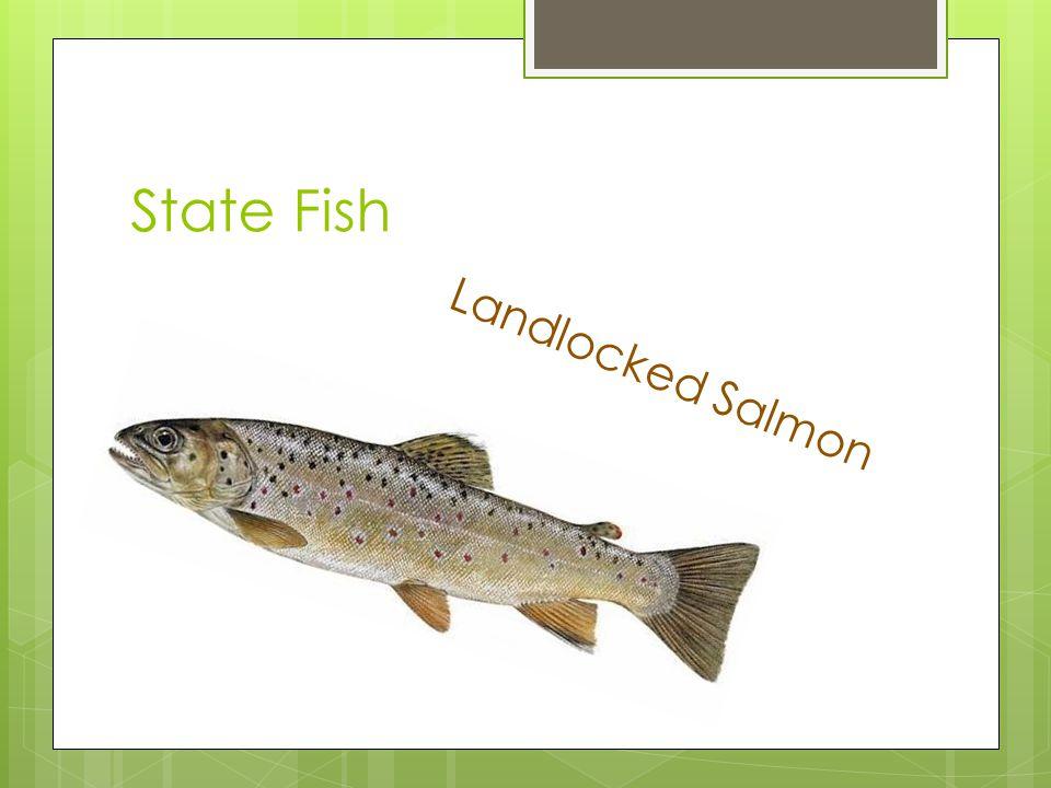 State Fish Landlocked Salmon