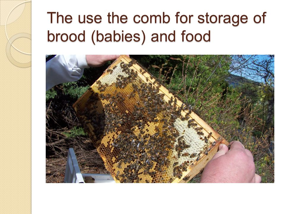 The use the comb for storage of brood (babies) and food