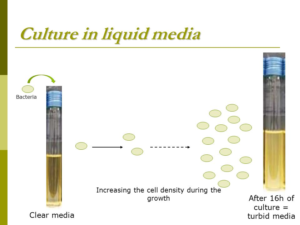 Culture in liquid media Clear media After 16h of culture = turbid media Increasing the cell density during the growth Bacteria