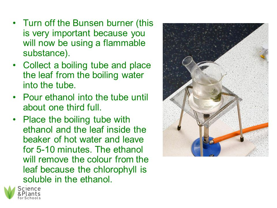 Pour off the ethanol into a clean beaker and place the leaf back in the hot water just to rinse off the ethanol.