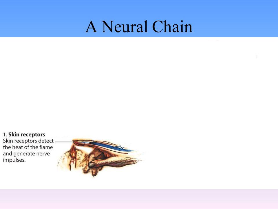A Neural Chain