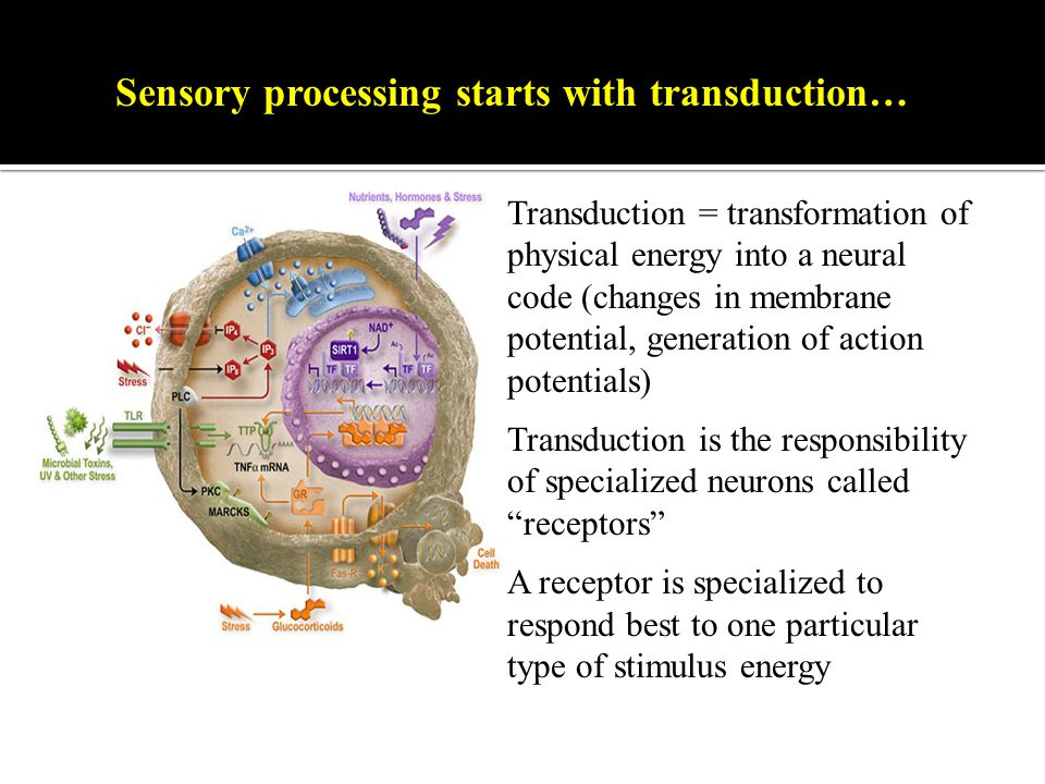 Sensory processing starts with transduction…t Transduction = transformation of physical energy into a neural code (changes in membrane potential, generation of action potentials) Transduction is the responsibility of specialized neurons called receptors A receptor is specialized to respond best to one particular type of stimulus energy