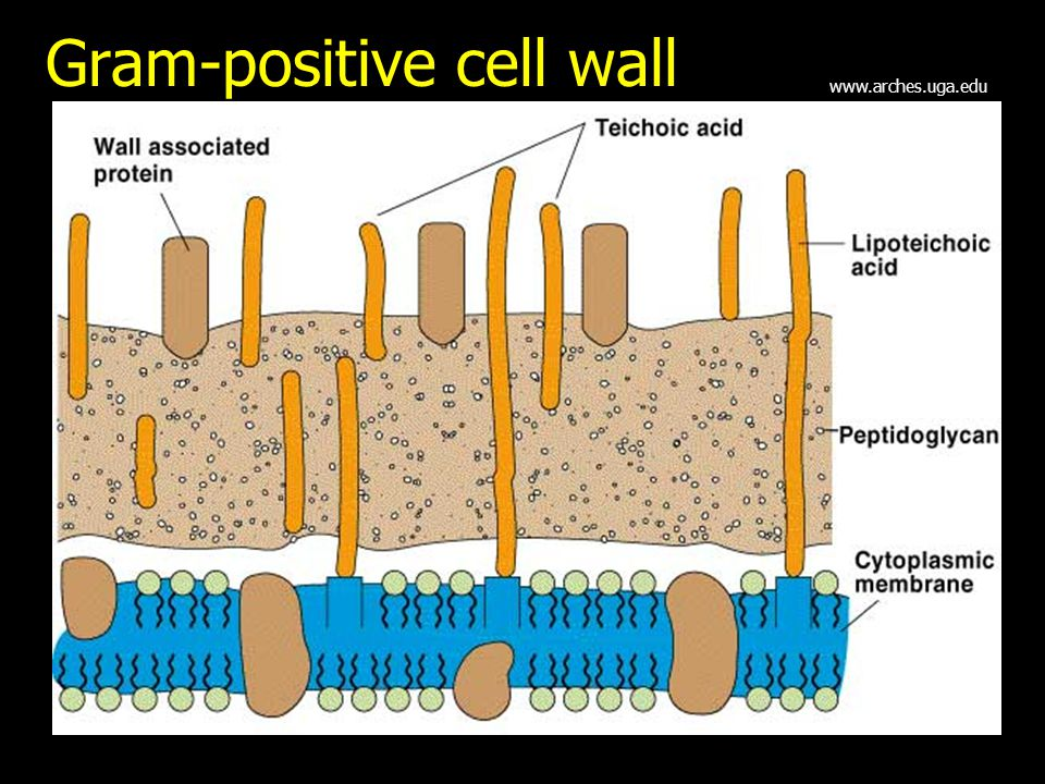 Gram-positive cell wall www.arches.uga.edu