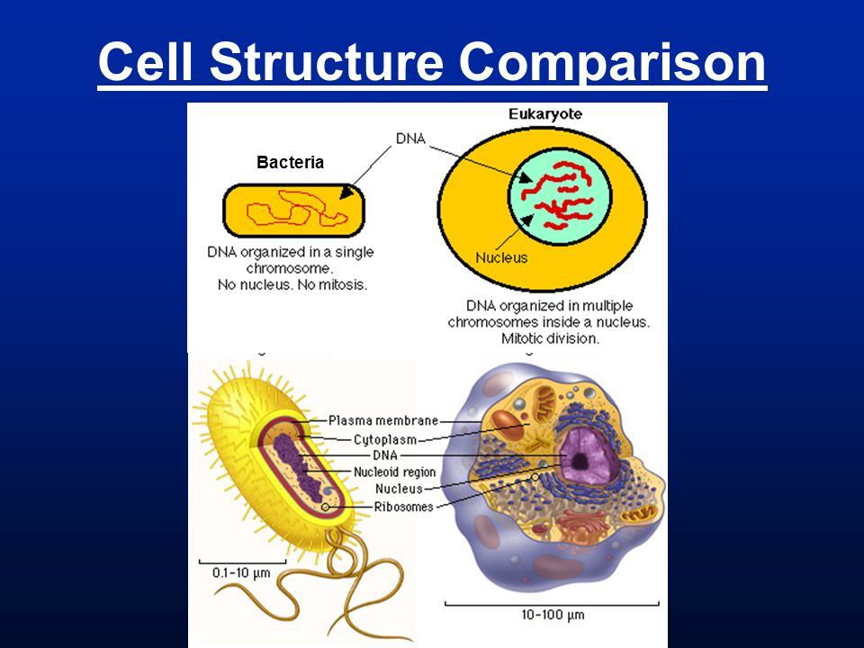 Cell Structure Comparison Bacteria