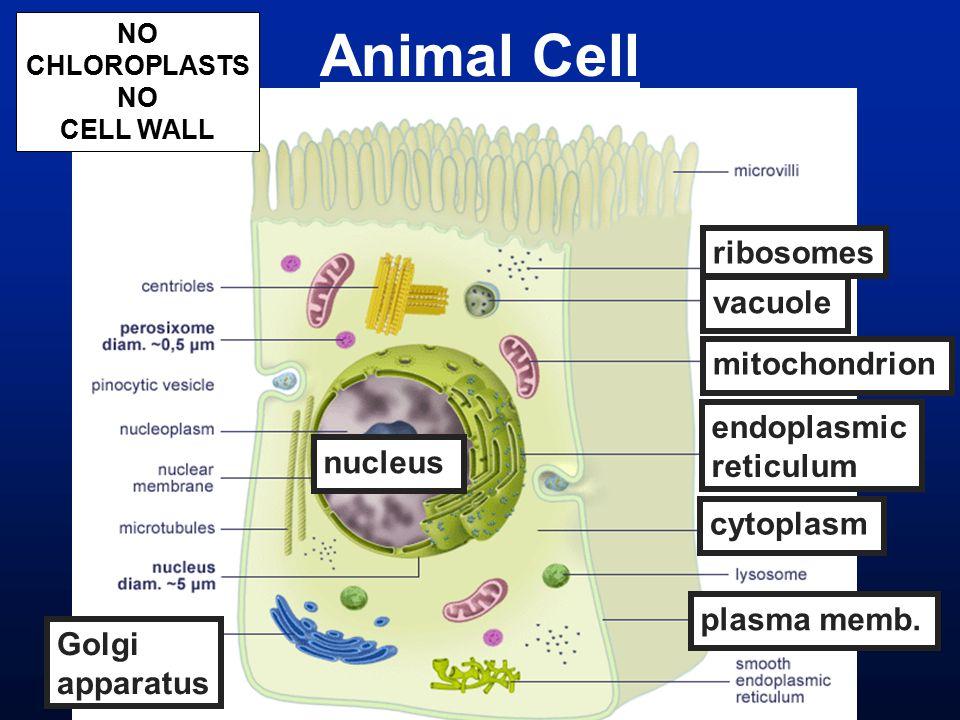 Animal Cell nucleus vacuole cytoplasm plasma memb. mitochondrion Golgi apparatus ribosomes endoplasmic reticulum NO CHLOROPLASTS NO CELL WALL