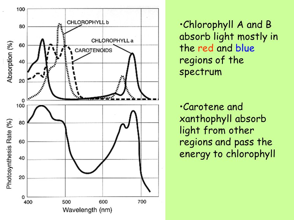 Measuring light absorption A spectrometer is used to measure the amount of absorption at each wavelength An action spectrum shows the rate of photosynthesis at different light intensities