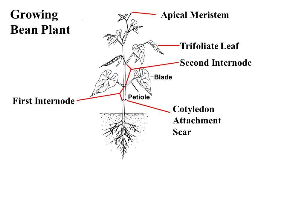 Growing Bean Plant Trifoliate Leaf Apical Meristem First Internode Cotyledon Attachment Scar Second Internode