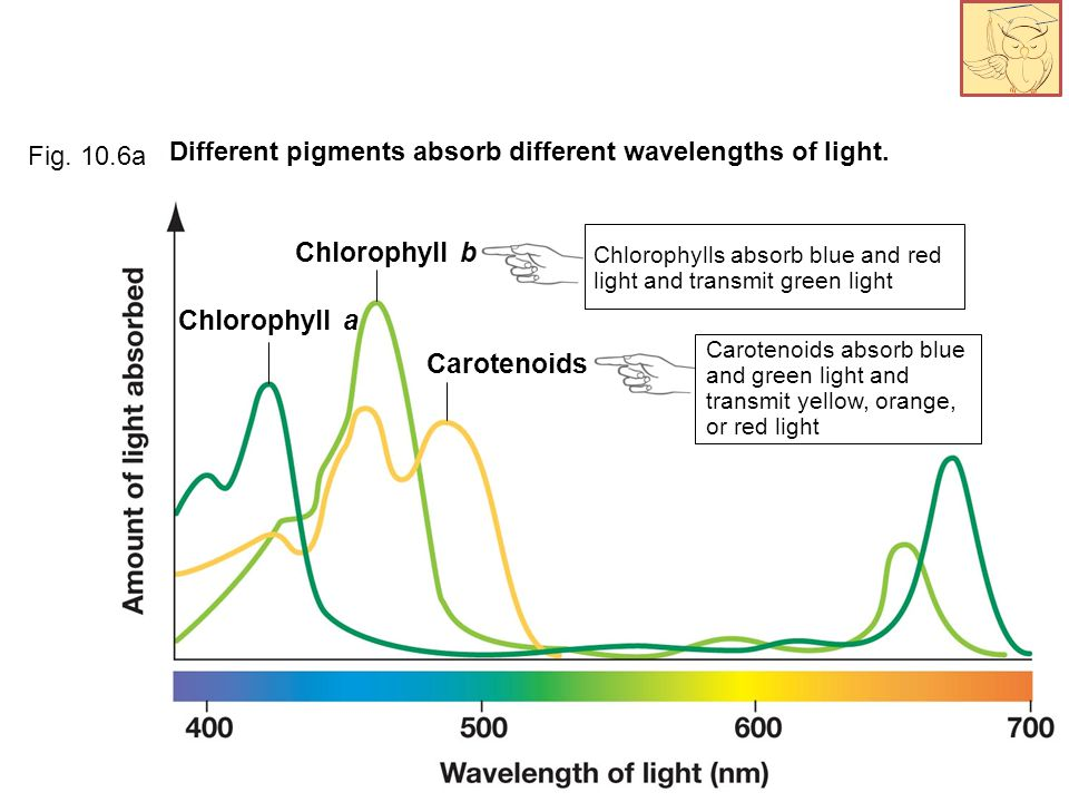 Different pigments absorb different wavelengths of light.