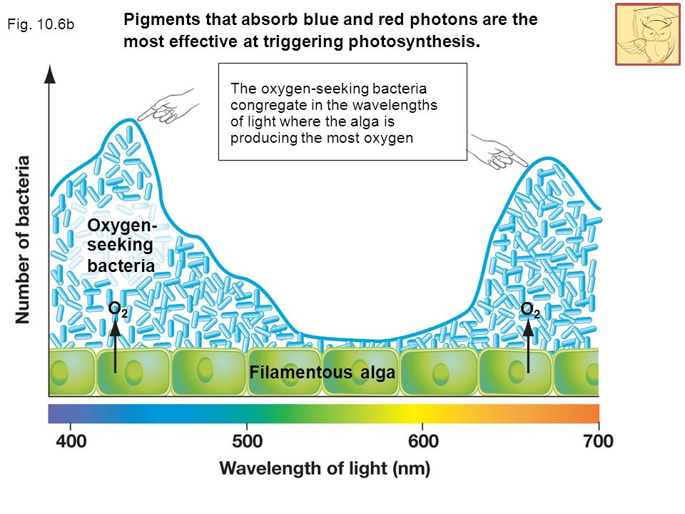 Oxygen- seeking bacteria Pigments that absorb blue and red photons are the most effective at triggering photosynthesis. Filamentous alga O2O2 O2O2 The