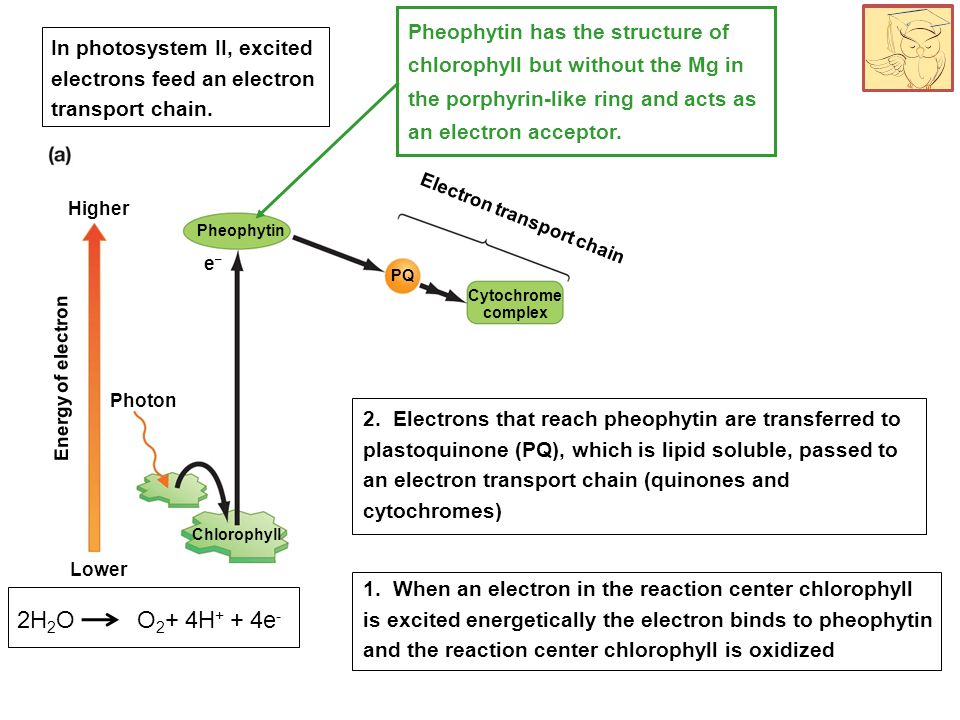 Chlorophyll e–e– Lower Photon Energy of electron Pheophytin Cytochrome complex Higher PQ 1. When an electron in the reaction center chlorophyll is exc