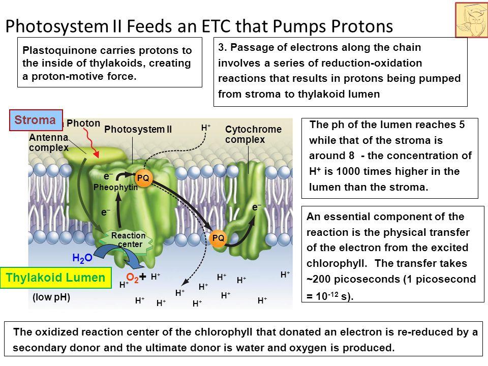 Photosystem II Feeds an ETC that Pumps Protons Cytochrome complex PQ e–e– e–e– e–e– Pheophytin Antenna complex Reaction center Photosystem II Stroma Photon H+H+ H+H+ (low pH) H+H+ H+H+ H+H+ H+H+ H+H+ H+H+ H+H+ H+H+ H+H+ H+H+ H+H+ Stroma Thylakoid Lumen 3.
