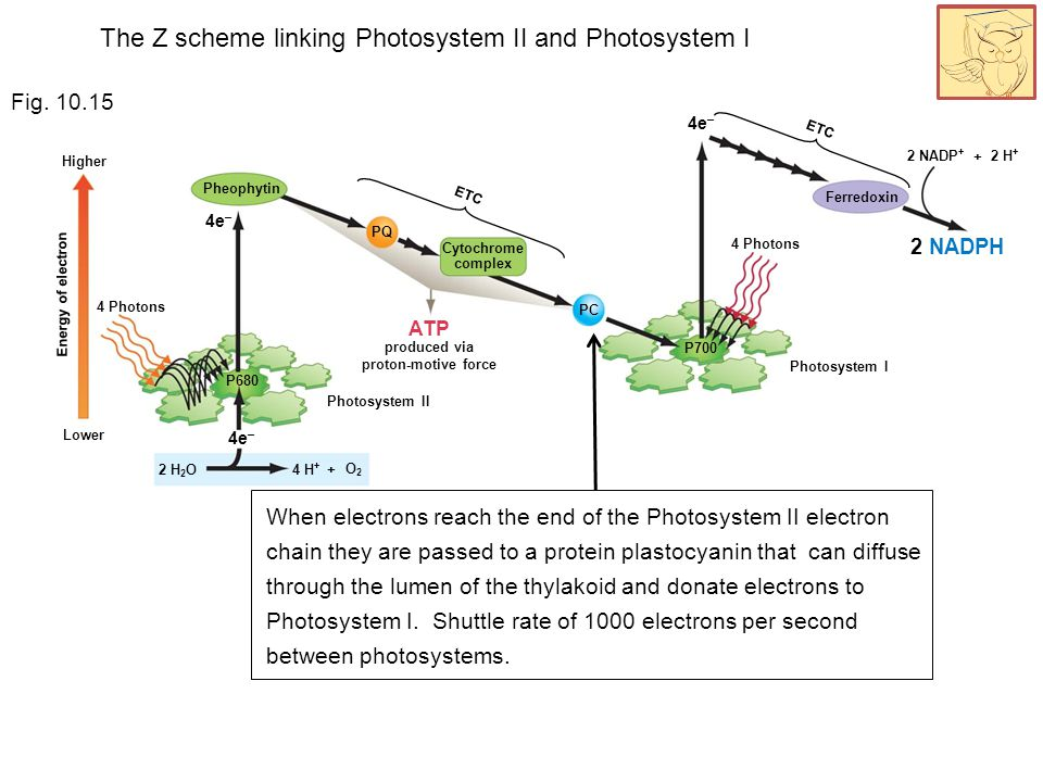 4e – 4 Photons Energy of electron 2 H + 2 NADP + 2 NADPH Lower Higher Photosystem I Ferredoxin ETC + 4e – 4 Photons ETC 4e – Photosystem II 4 H + PQ PC P700 ATP produced via proton-motive force Cytochrome complex Pheophytin P680 + O2O2 2 H 2 O Fig.