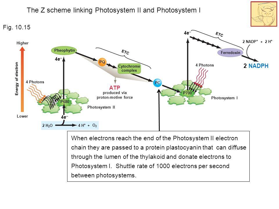 4e – 4 Photons Energy of electron 2 H + 2 NADP + 2 NADPH Lower Higher Photosystem I Ferredoxin ETC + 4e – 4 Photons ETC 4e – Photosystem II 4 H + PQ P