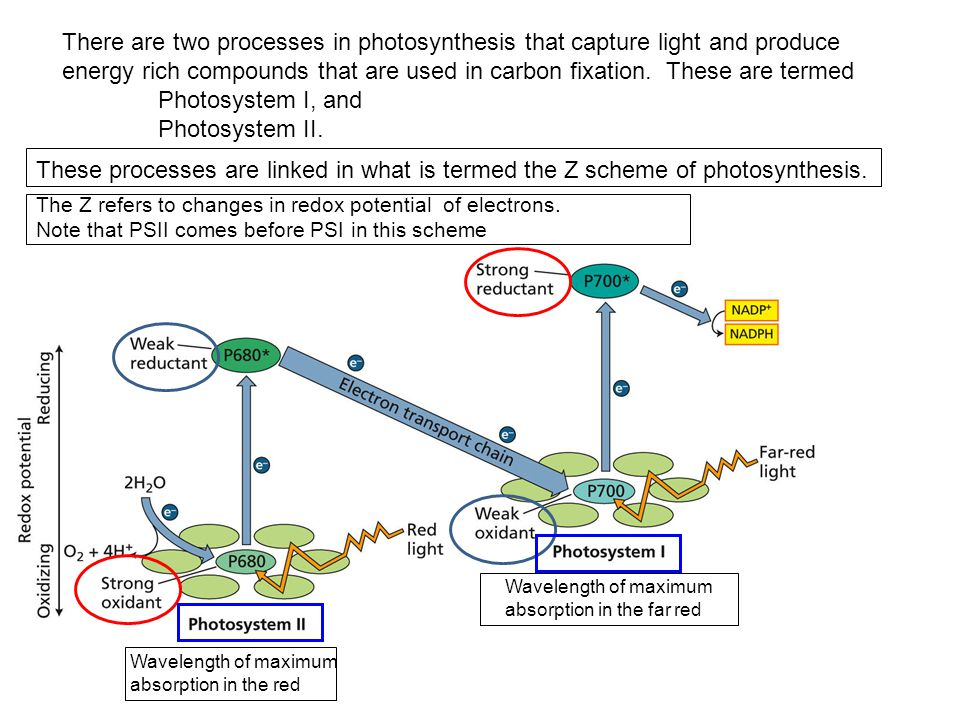 There are two processes in photosynthesis that capture light and produce energy rich compounds that are used in carbon fixation.