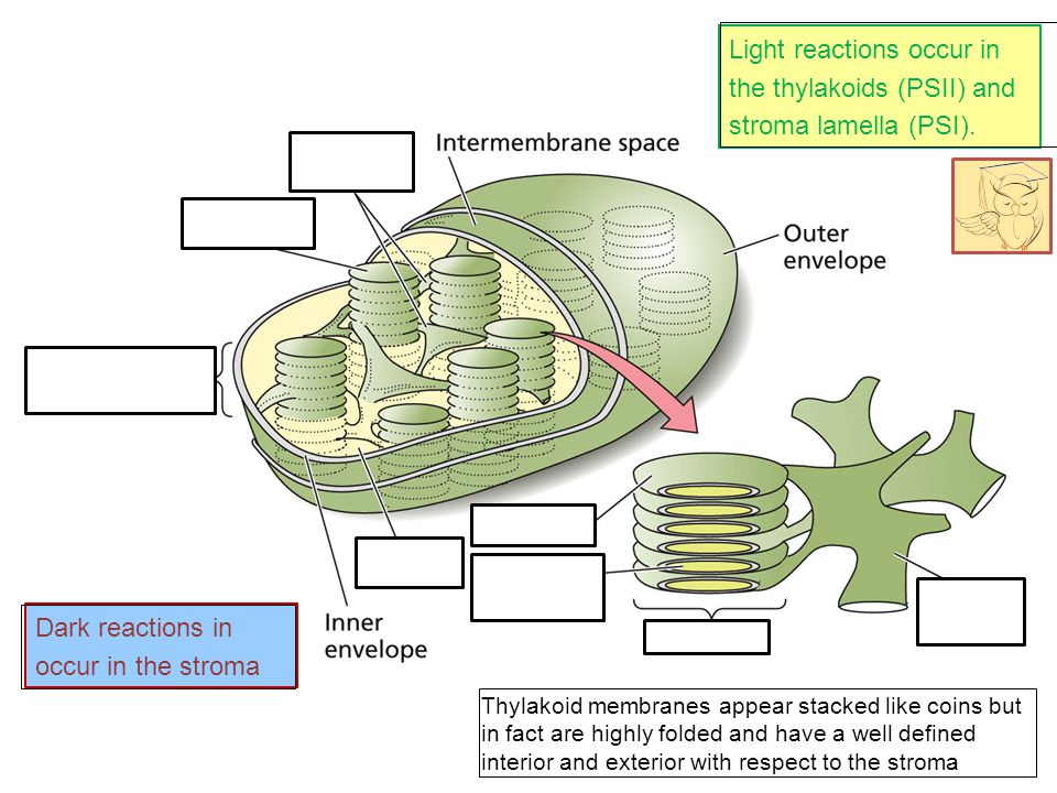 Light reactions occur in the thylakoids (PSII) and stroma lamella (PSI).