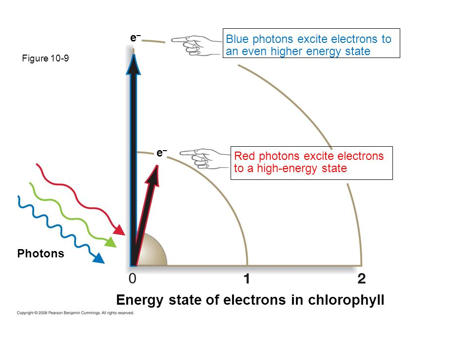 Figure 10-9 Photons Energy state of electrons in chlorophyll e–e– e–e– Blue photons excite electrons to an even higher energy state Red photons excite electrons to a high-energy state