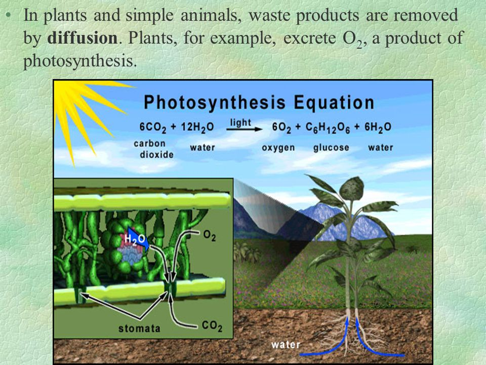 In plants and simple animals, waste products are removed by diffusion. Plants, for example, excrete O 2, a product of photosynthesis.