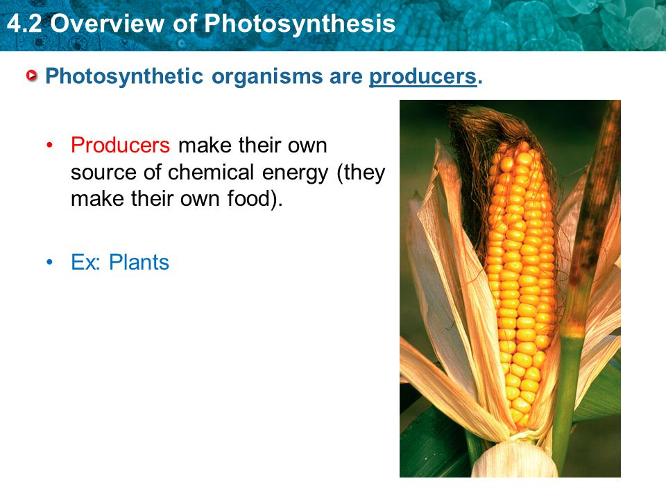 4.2 Overview of Photosynthesis Photosynthetic organisms are producers. Producers make their own source of chemical energy (they make their own food).