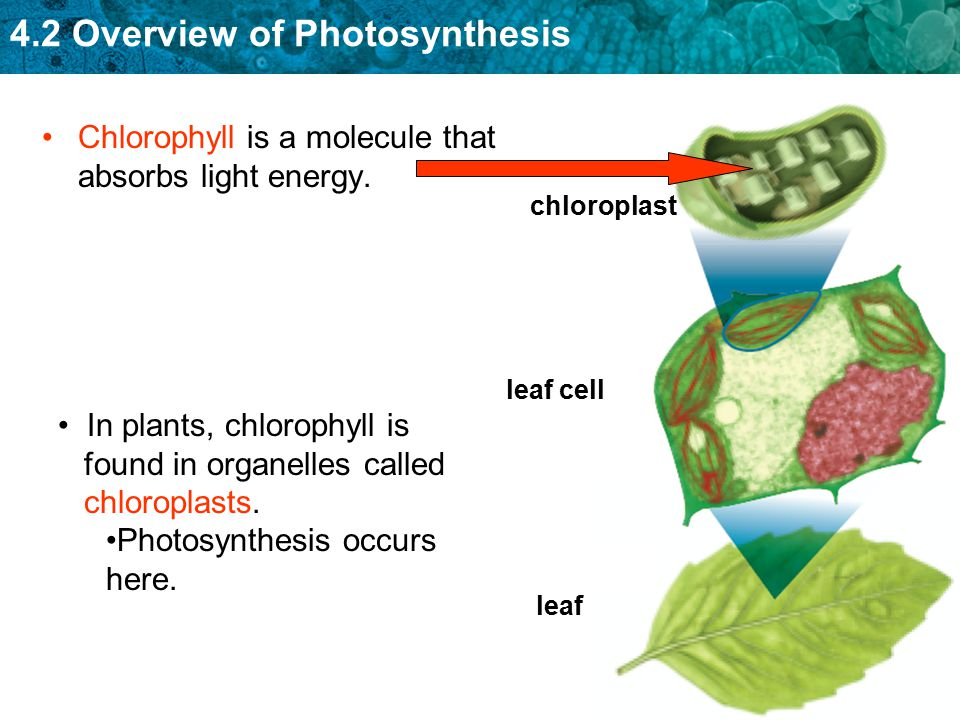 4.2 Overview of Photosynthesis Chlorophyll is a molecule that absorbs light energy. chloroplastleaf cell leaf In plants, chlorophyll is found in organ