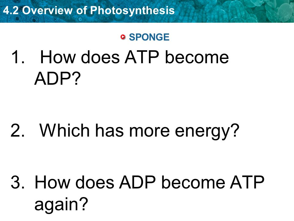 4.2 Overview of Photosynthesis phosphate removed ATP becomes ADP when a phosphate group is removed and energy is released.