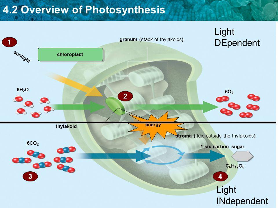 4.2 Overview of Photosynthesis C 6 H 12 O 6 granum (stack of thylakoids) thylakoid sunlight 1 six-carbon sugar 6H 2 O 6CO 2 6O 2 chloroplast 1 2 43 en