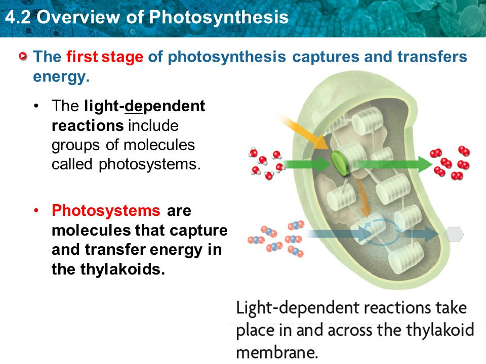 The first stage of photosynthesis captures and transfers energy. The light-dependent reactions include groups of molecules called photosystems. Photos