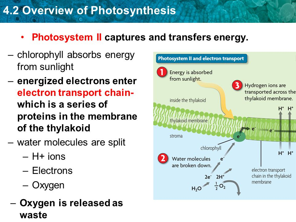 4.2 Overview of Photosynthesis Photosystem II captures and transfers energy. –chlorophyll absorbs energy from sunlight –energized electrons enter elec