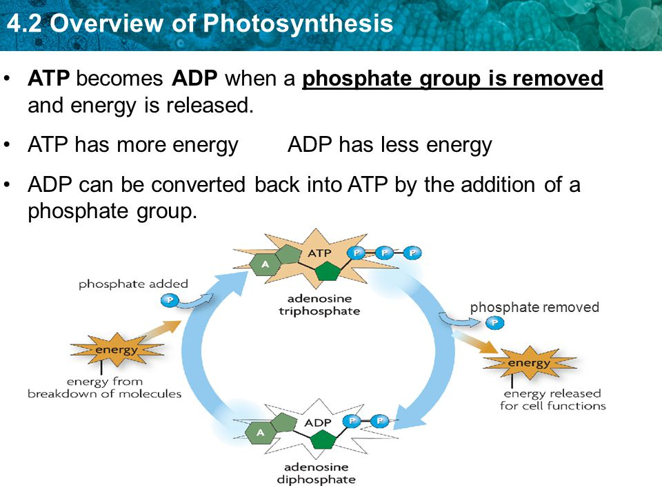 4.2 Overview of Photosynthesis Light-dependent reactions capture energy from sunlight and produces oxygen as a byproduct.