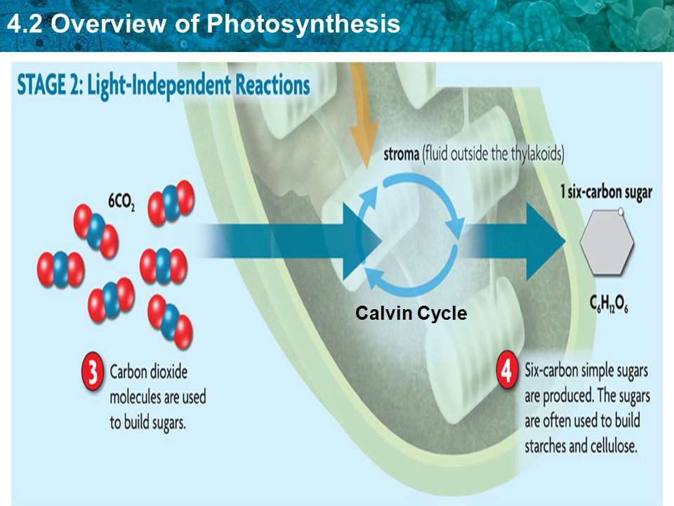 4.2 Overview of Photosynthesis Calvin Cycle