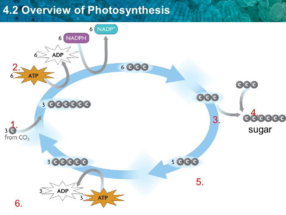 4.2 Overview of Photosynthesis 1. 2. 3. 4. 5. 6. sugar