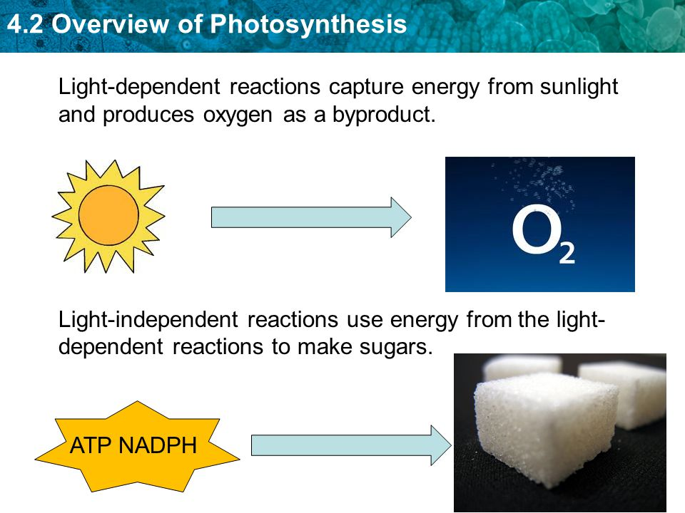 4.2 Overview of Photosynthesis Light-dependent reactions capture energy from sunlight and produces oxygen as a byproduct. Light-independent reactions