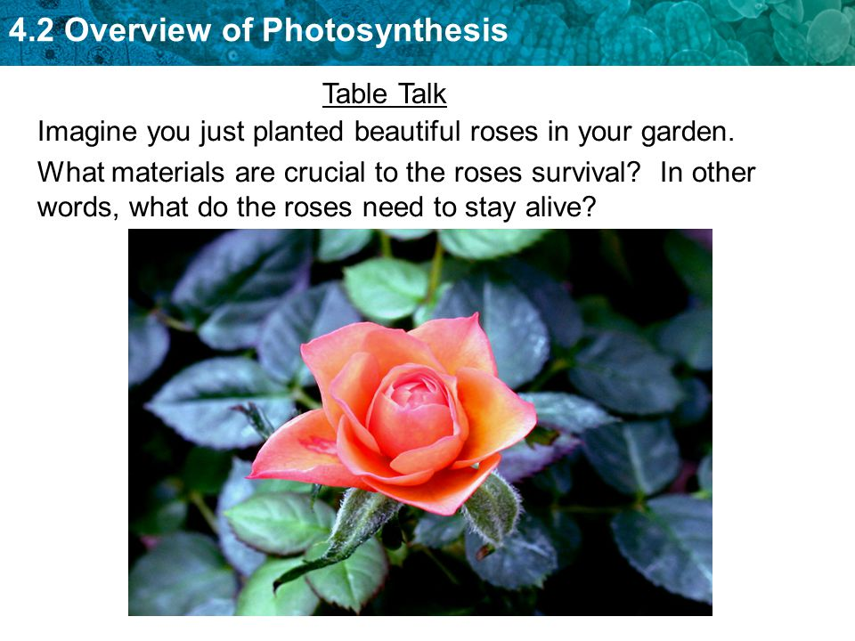 4.2 Overview of Photosynthesis What materials are crucial to the roses survival.