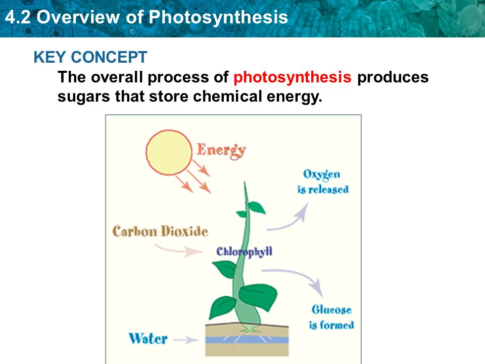 4.2 Overview of Photosynthesis List a few things that use energy from sunlight.
