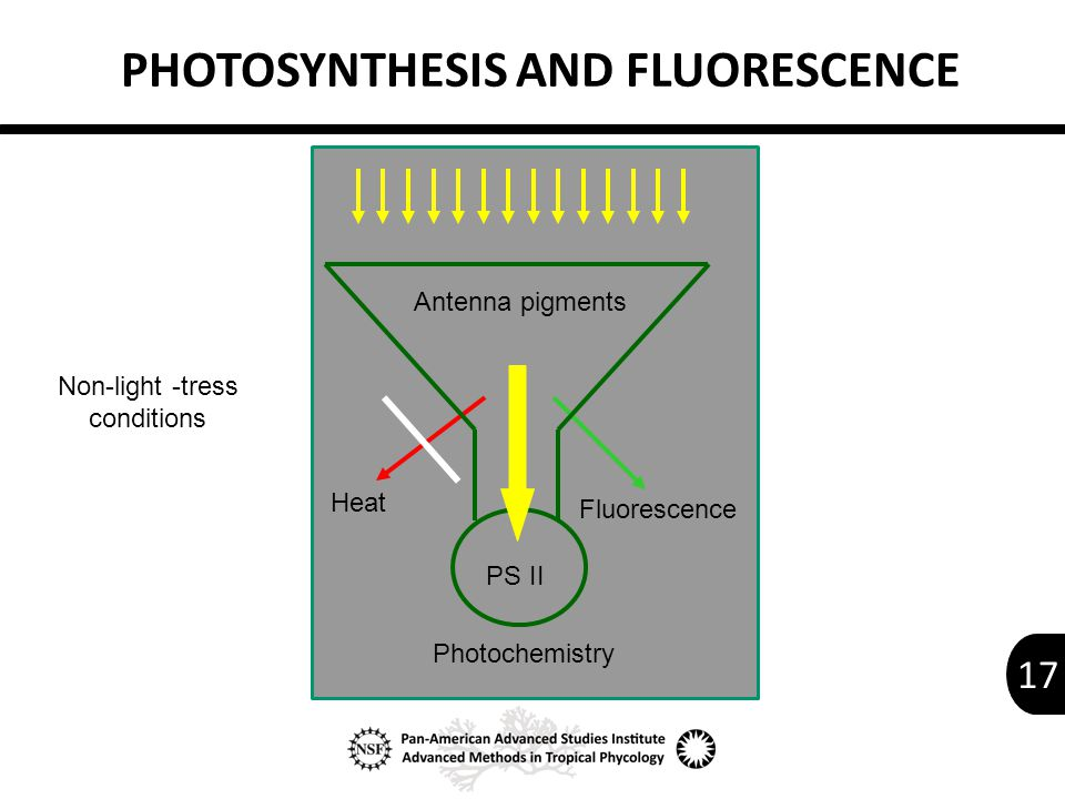 17 Heat Fluorescence Photochemistry Antenna pigments PS II Non-light -tress conditions PHOTOSYNTHESIS AND FLUORESCENCE